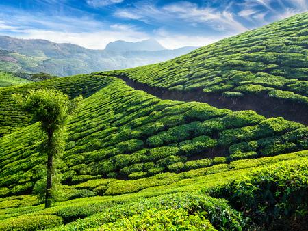 munnar: Green tea plantations in the morning, Munnar, Kerala state, India