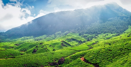 lush: Panorama of green tea plantations in Western Ghats in the morning. Munnar, Kerala, South India