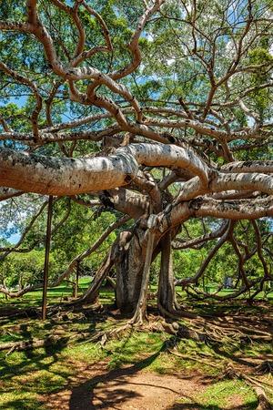 kandy: Ficus Benjamina tree in Peradeniya Botanical Gardens, Kandy, Sri Lank Stock Photo