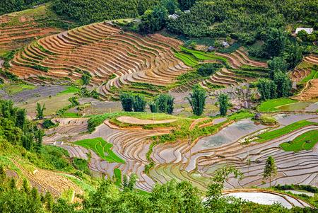 sapa: Rice field terraces (rice paddy fields). Near Cat Cat village - popular tourist trekking destination. Near Sapa, Vietnam