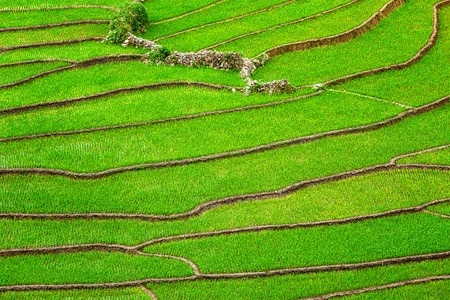 closeups: Green rice field terraces Near Sapa, Vietnam