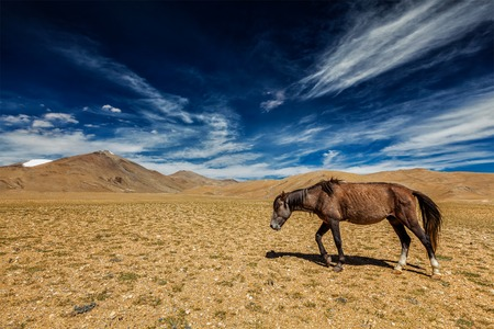 plains indian: Horse in Himalayas in Ladakh, India