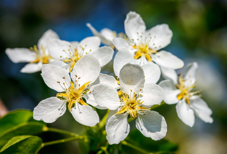 APPLE trees: Flowers of apple tree blossoming in spring Stock Photo