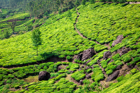 kerala: Kerala India travel background - green tea plantations in Munnar with low clouds, Kerala, India - tourist attraction