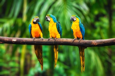 ararauna: Blue-and-Yellow Macaw (Ara ararauna), also known as the Blue-and-Gold Macaw Stock Photo