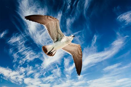 Seagull flying in blue sky Фото со стока