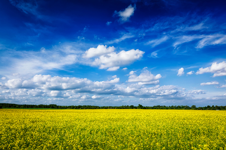 oilseed: Spring summer background - yellow oilseed rape canola field with blue sky