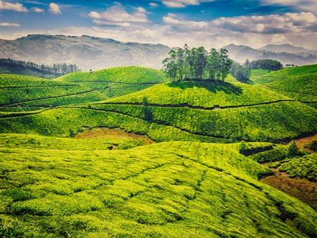 tea plantations: Vintage retro effect filtered hipster style image of green tea plantations. Munnar, Kerala, India