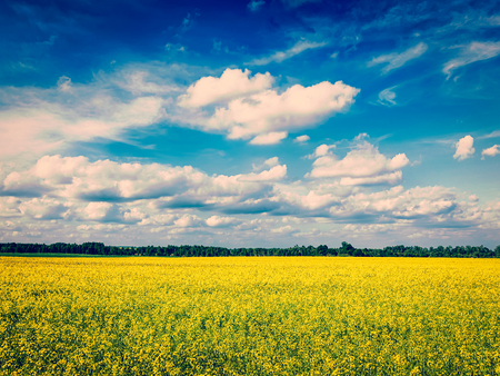 rape: Spring summer background - vintage retro effect filtered hipster style image of  yellow canola field with blue sky