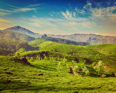 tea plantations: Kerala India travel background - vintage retro effect filtered hipster style image of green tea plantations in Munnar, Kerala, India - tourist attraction