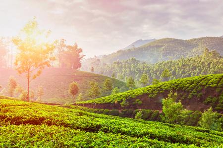 tea plantations: Kerala India travel background - green tea plantations in Munnar, Kerala, India in the morning on sunrise. With lens flare and light leak Stock Photo