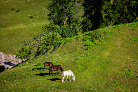 pradesh: Horses grazing in Himalayas mountains. Kullu valley, Himachal Pradesh, India