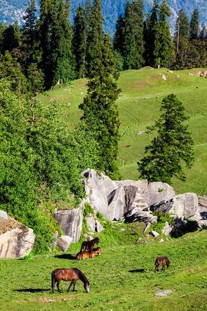 Horses grazing in Himalayas mountains. Kullu valley, Himachal Pradesh, India