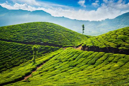 Theeplantages. Munnar, Kerala
