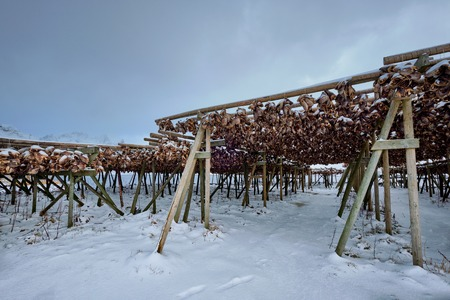 Drying flakes for stockfish cod fish in winter. Lofoten islands, 版權商用圖片