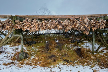 Drying flakes for stockfish cod fish in winter. Lofoten islands, Stock Photo
