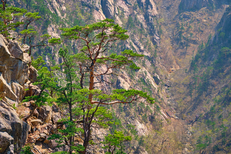 Pine tree and rock cliff , Seoraksan National Park, South Korea Reklamní fotografie