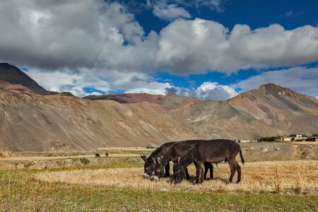 Donkeys grazing in Himalayas