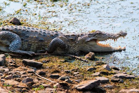 Snub Nosed Marsh Crocodile mugger crocodile (Crocodylus palustris) Stock Photo
