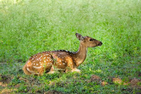 Beautiful young female chital or spotted deer in Ranthambore National Park, Rajasthan, India