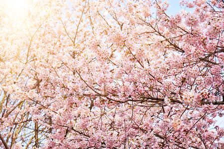 Blooming sakura cherry blossom close up background in spring, South Korea. With sun and lens flare Standard-Bild