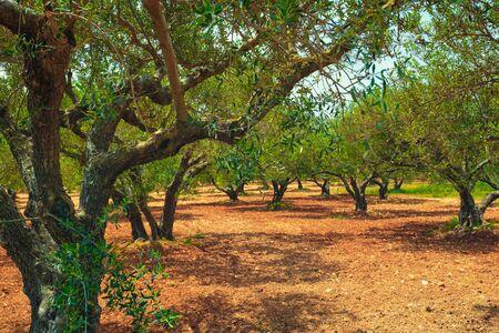 Olive trees Olea europaea in Crete, Greece for olive oil production Banco de Imagens