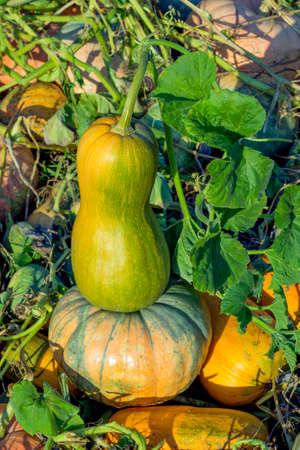 farm field: Two pumpkins in a farm field or garden