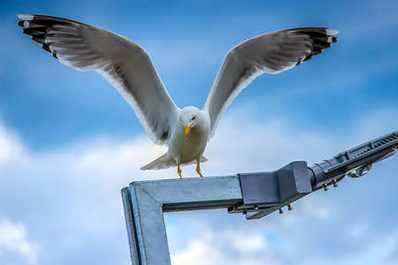 spread wings: seagull with spread wings sitting on a lamp