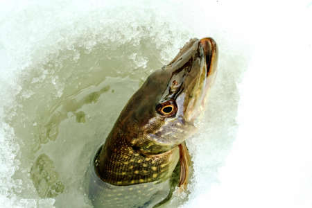 northern pike: Northern Pike being pulled through the hole while ice fishing