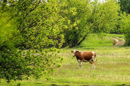 heffer: The cow is grazed on a green field clear day