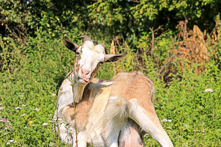 Goat isolated in the open air Stock Photo
