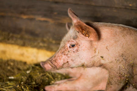 sty: Closeup shot of little pig in sty. Stock Photo