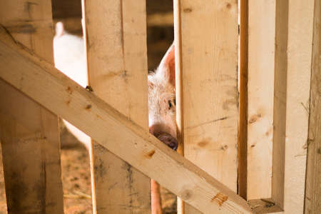 pig out: Little pig is looking out it
