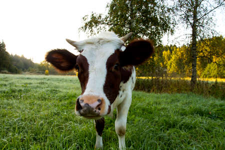 young cow: Closeup portrait of a young cow.
