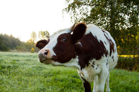farming industry: Closeup shot of a curious young cow walking on the grass.