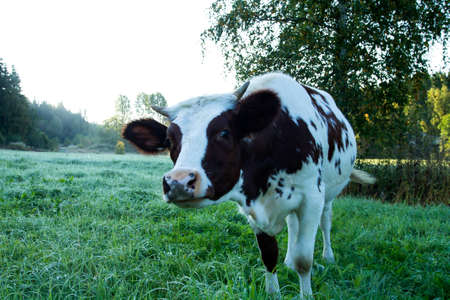 curiously: Portrait of a young cow curiously looking to  the camera.