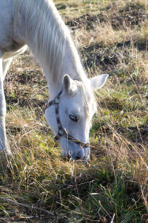 harnessing: Portrait of a white horse eating grass in pasture in sunny day.
