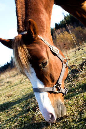 harnessing: Young brown horse is eating grass in pasture.