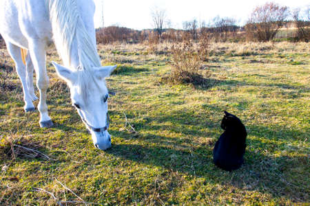 harnessing: White horse is eating grass in pasture. Black cat is sitting by.