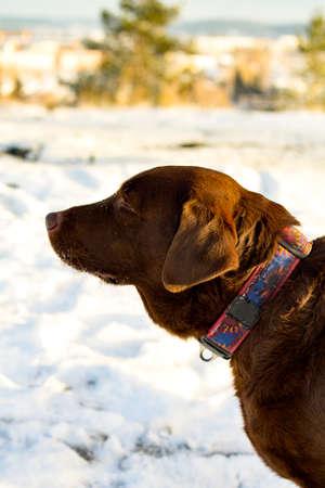 chocolate labrador retriever: Profile portrait of chocolate labrador retriever made in sunny day in winter.