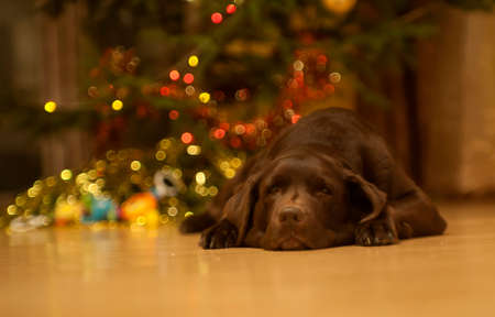 chocolate labrador retriever: Chocolate labrador retriever is lying by the decorated Christmas tree. Stock Photo