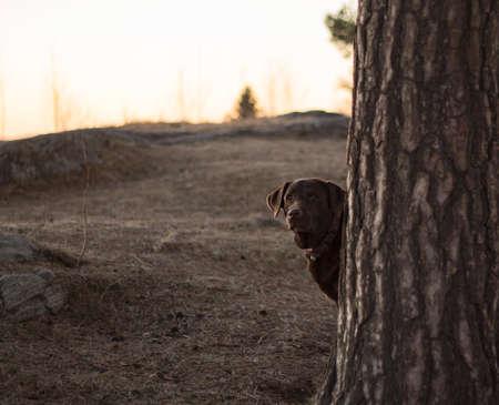 adentro y afuera: Retrato de labrador retriever del chocolate que mira hacia fuera el árbol durante el paseo en primavera o en el otoño de parque.