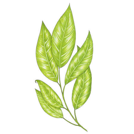 a sprig: Hand painted with markers twig with green leaves. Botanical illustration isolated