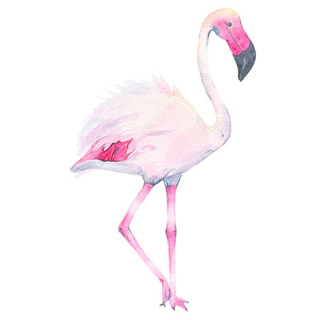 nature one painted: Watercolor hand painted tropical pink flamingo isolated on white background. Fauna bird animal illustration