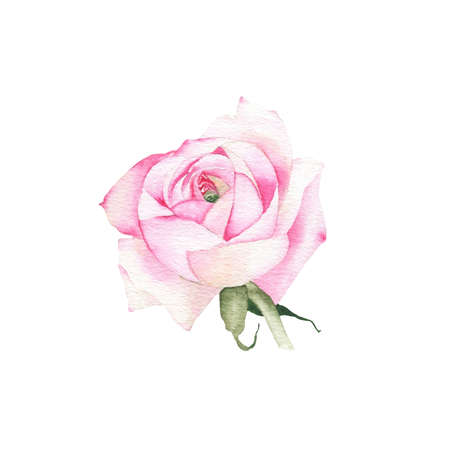 Watercolor pink rose flower plant herb spring flora isolated on white background. Botanical decorative illustration for wedding invitation card