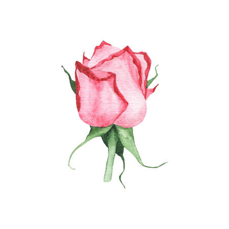 Watercolor red rose bud flower plant herb spring flora isolated on white background. Botanical decorative illustration for wedding invitation card