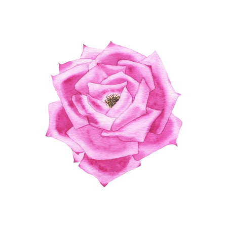 Watercolor purple rose bud flower plant herb spring flora isolated on white background. Botanical decorative illustration for wedding invitation card