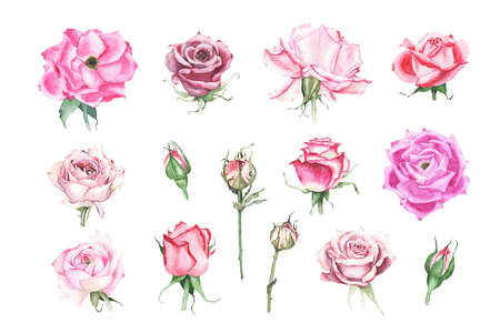 Collection of watercolor pink maroon purple red roses bud flower plant herb spring flora isolated on white background. Botanical decorative illustration for wedding invitation card Stock fotó