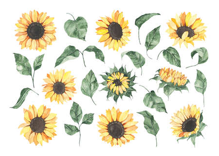 Watercolor sunflowers with green leaves isolated on white background. Floral summer spring autumn yellow flowers blossom boho botanical for wedding invitation save the date card illustration