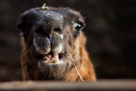 llama in captivity in cabarceno national park in cantabria, spain